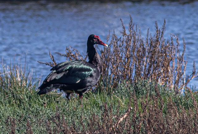 Spur-winged goose Woodbridge Island