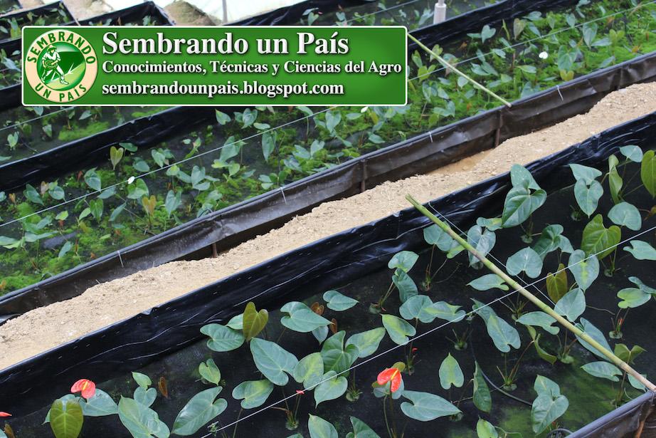 plantas de anthurium en desarrollo