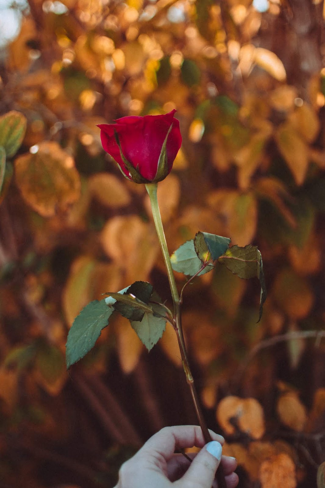 Selective focus photo of red rose with bokeh lights, rose images