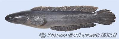 Channa hoaluensis - 50 Jenis Ikan CHanna beserta dengan Harga Terbaru
