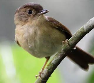 Burung Flamboyan