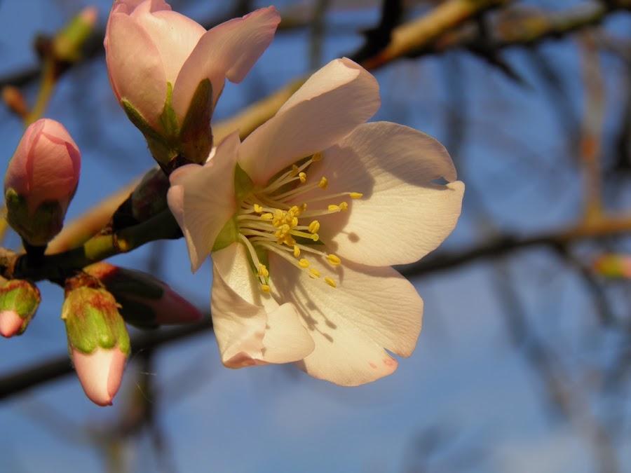 Prunus amigdalus