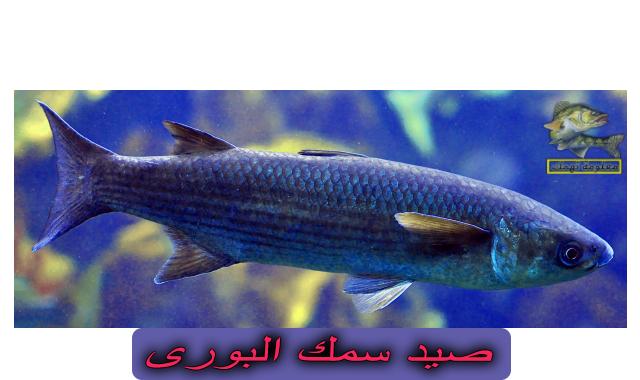 طرق صيد البوري | فوائد سمك البورى