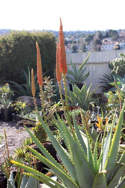 Aloe mutabilis flower stalk