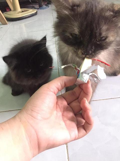 Mèo sẽ bị nguy hiểm khi ăn phô mai