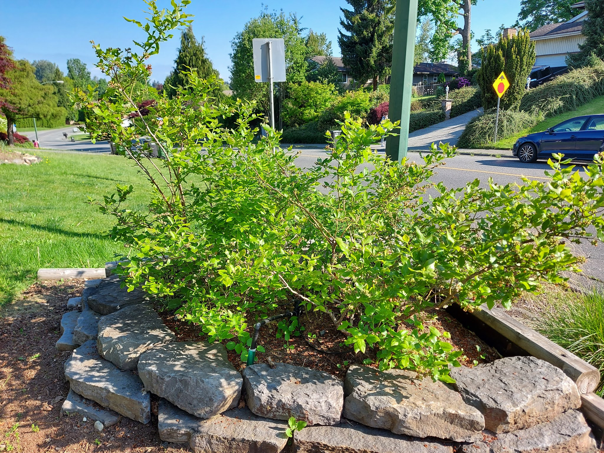 Blueberry to plant in front yard idea