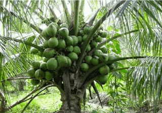 pohon kelapa www.simplenews.me