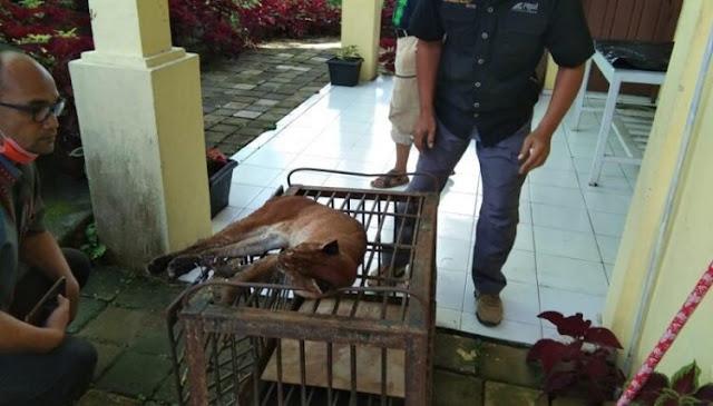 Sayang! Kucing Emas Indonesia Yang Langka Akhirnya Mati Di Kebun Binatang Bukittinggi