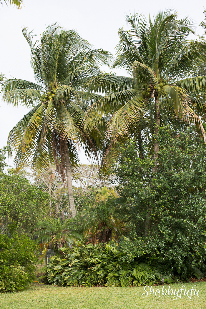 coconut palms swaying