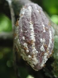 8 hama kakao dan cara pengendaliannya