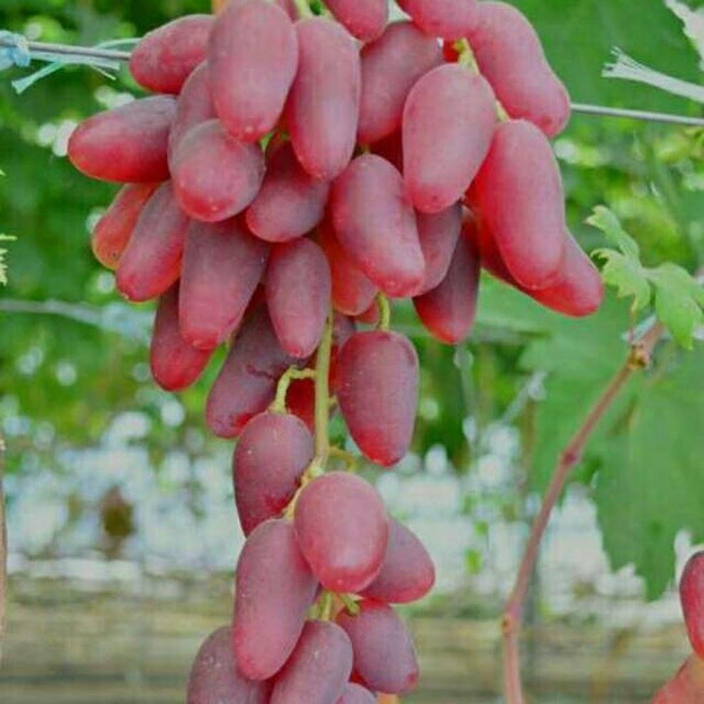 Bibit anggur impor duboski pink bisa COD Tual