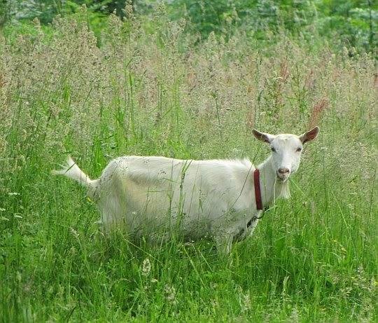 Koza domowa (Capra aegagrus hircus).