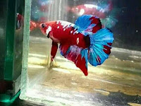 8 Jenis ikan Cupang dari yang termahal di tahun 2020