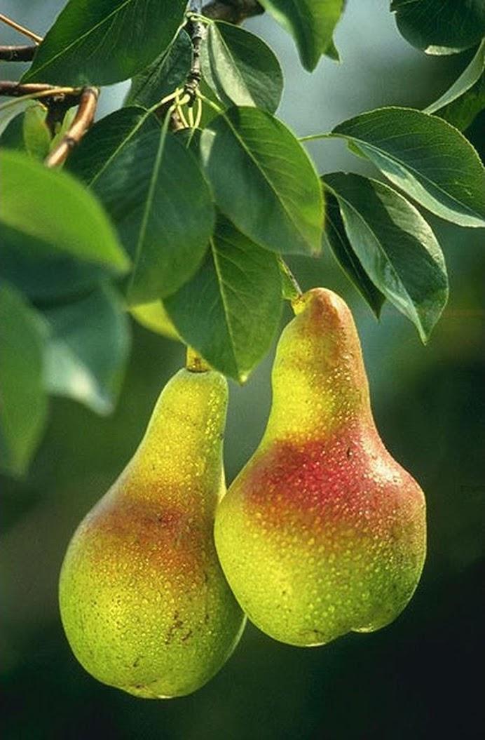 Amefurashi Benih Bibit Buah Pir Import Good Fruit MAke Your Dreamy Pir Garden Jawa Timur