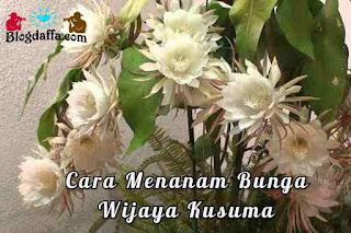 Cara menanam bunga Wijayakusuma