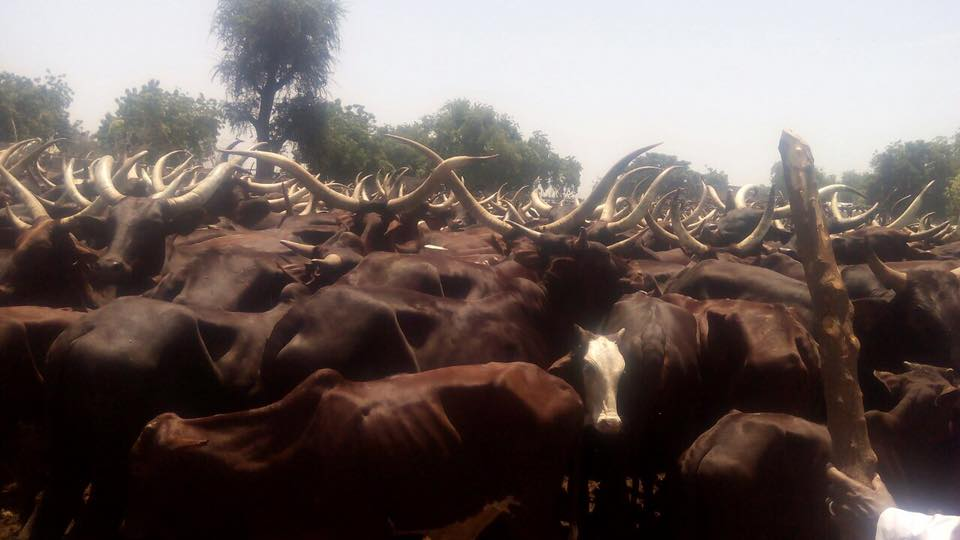 boko haram selling stolen cows cattle market