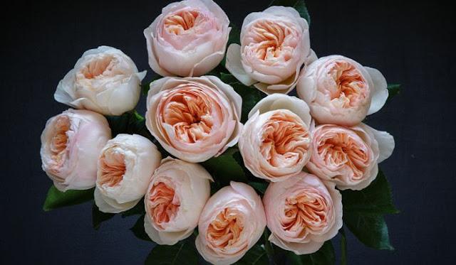 Bunga Juliet Rose