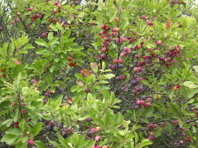 These Things Happen Taming the Uncommon Beach Plum