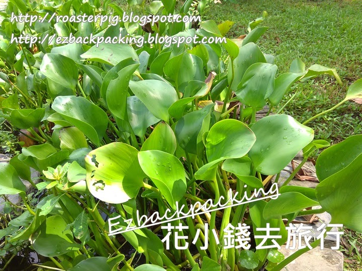 西貢蕉坑自然教育中心鳳眼藍