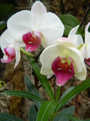 Allan Gardens Conservatory white and purple Phalaenopsis orchids by garden muses-not another Toronto gardening blog