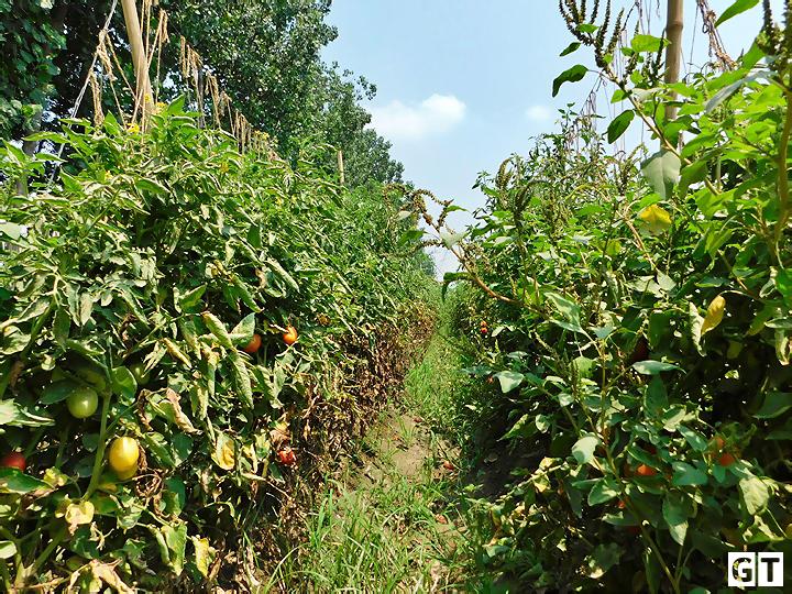 tomato-farming-in-amroha