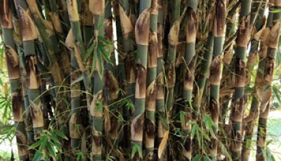 tanaman bambu tali