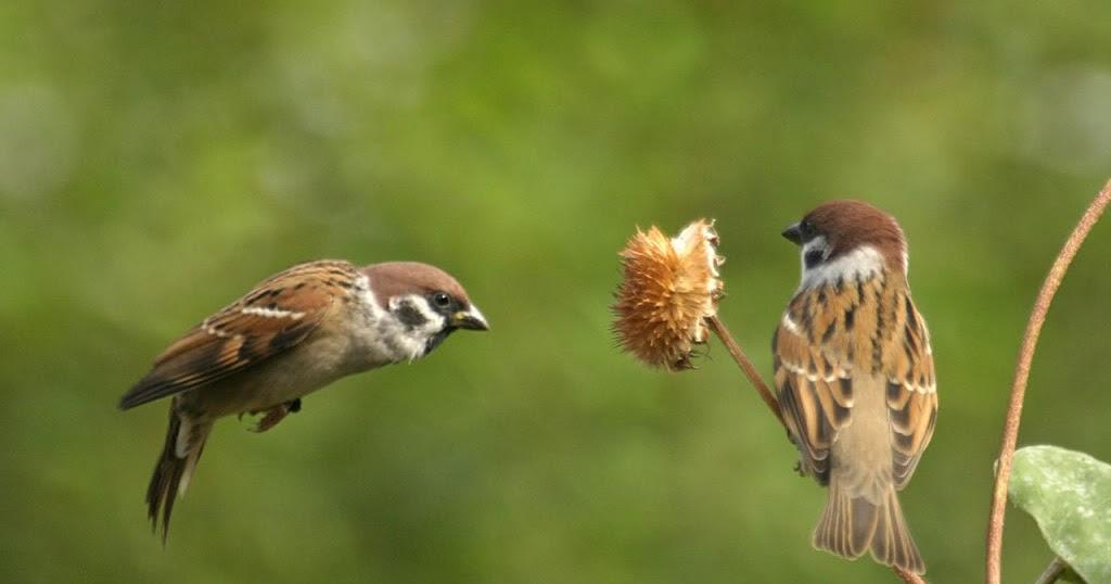 Mewarnai Gambar Burung Gereja Mewarnai Gambar