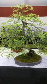 bonsai tree IMAGE