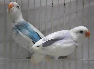 Mengenal Lovebird Dominan Peid Light Form