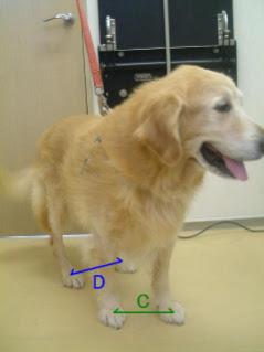 identificando a displasia em cães