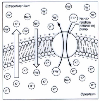 Concept of neural conduction in biopsychology psychology definition the cell membrane exchange of 3 na ions in neurons for 2 k ions outside the neuron transported by the transporter sodium potassium pumps ccuart Choice Image