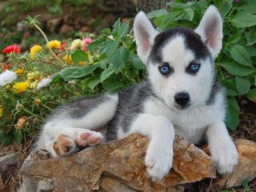 Siberian husky puppies | LoL Picture Collection