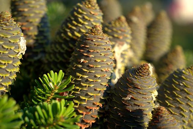 Menanam Dan Budidaya Pinus Dari Biji