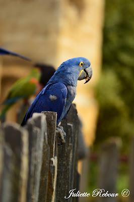 Ara bleu, Bioparc Doué-la-Fontaine