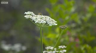 Common Hogweed