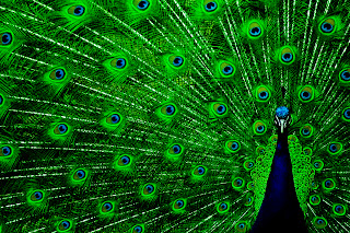 Peacock Awesome Green Features HD Wallpaper