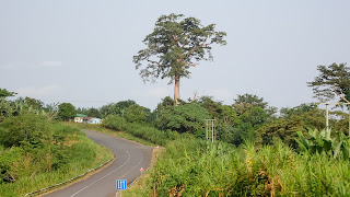 The most famous tree in Equatorial Guinea is the Ceiba tree