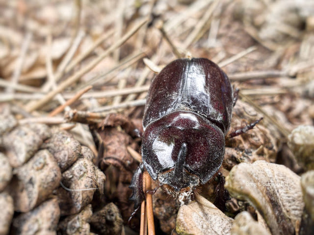 Scarabée Rhinocéros européen,  Oryctes nasicornis, Fontainebleau