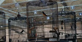 Manfaat Positif Kroto Untuk Burung Murai Batu