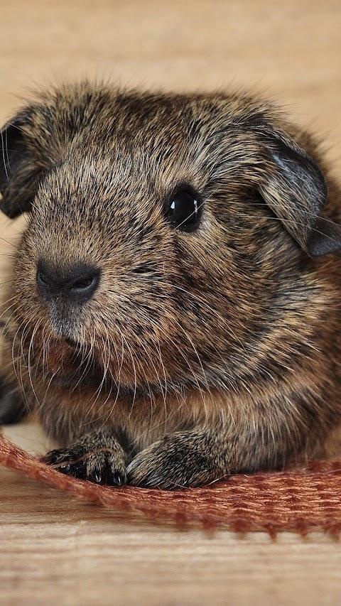Guinea Pig Đáng Yêu