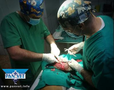 Hirurgija, Panvet Subotica