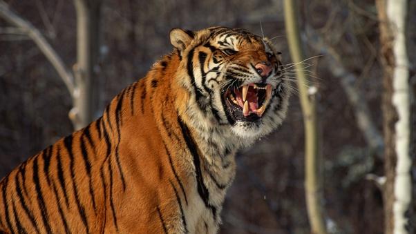 hổ lớn