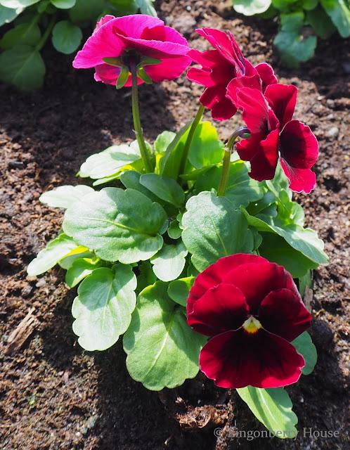 lingonberryhouse, kevät, spring, puutarha, garden, flower, kukka, violet, orvokki