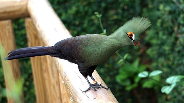 Turaco, Green (persa persa)