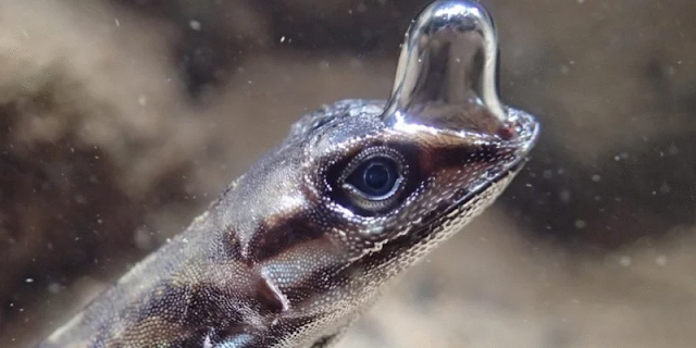 Esses lagartos descobriram forma incrível de respirar debaixo d'água