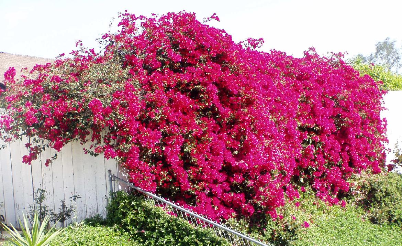 PlantsPedia: The Beauty of Bougainvillea