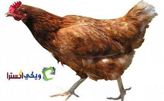 تفسير حلم اكل لحم الدجاج والرز كذلك الدجاج في المنام
