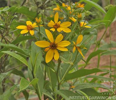 Chilca amarilla (Flourensia thurifera)