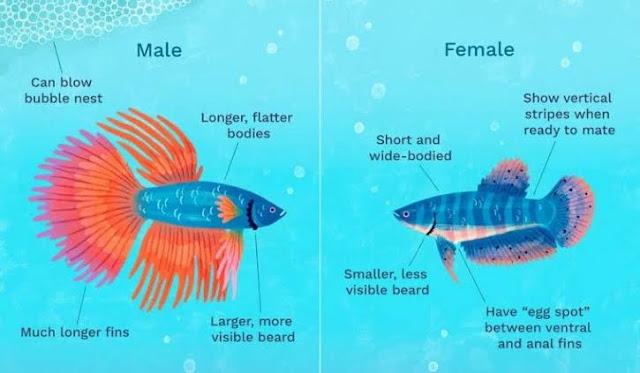 Cara Membedakan Ikan Cupang Jantan dan Betina [100% Akurat]