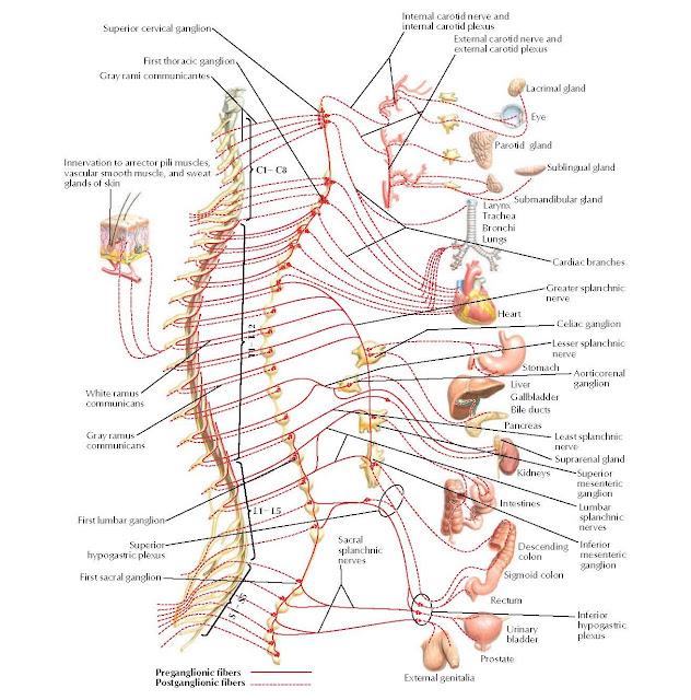 Sympathetic Nervous System: Schema Anatomy